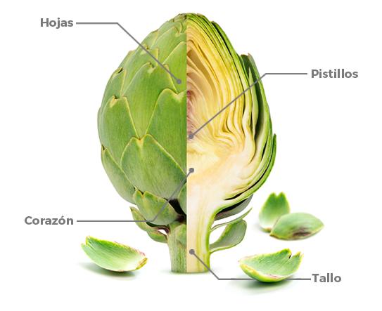 alcachofa con cada una de sus partes indicadas